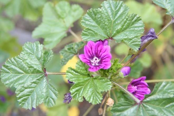 Egy csodás gyógynövény, ami helyrerakja az emésztőrendszeredet!