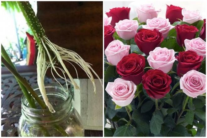 Gyökereztess rózsaszálakat!